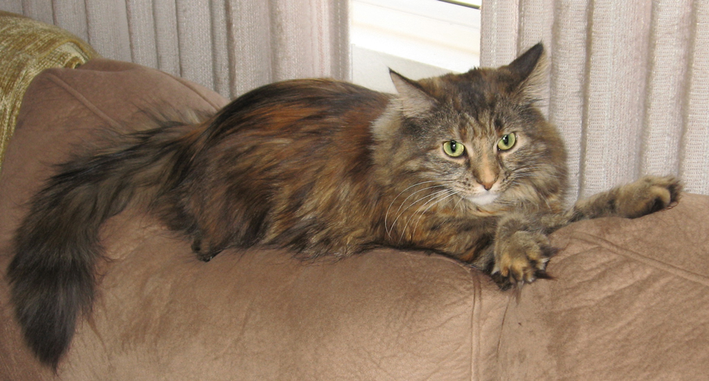 Miss Lilly, an American Longhair tiger-stripe